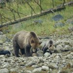 Mumma Bear with one of her cubs