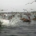 Edited to remove haze; small camera. Pelicans diving all around our kayaks.