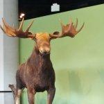 moose in indoor center