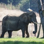 Elephant have a large space to roam