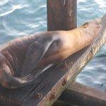 Sea Lion, Santa Cruz Wharf, Santa Cruz, Ca