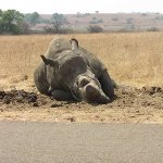 Old Oortjies on the side of the road - he is alive and does roam around! The rhinos are de-horne