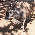 """tame"" Eland at picnic spot"