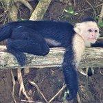 MANGROVE BOAT TOUR - Capuchin monkey