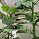 Multiple butterflies, landing on the leaves.