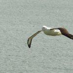 Lots of albatross to see