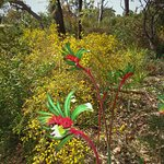 Kangaroo Paw abounds in its many variations in September