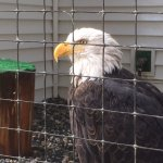 Bald eagle in recovery