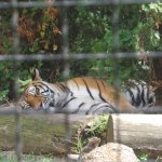 sleeping tiger at palic zoo