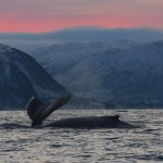 Humpback whales feeding in the fjords of Tromso.