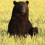 Bear-Ology Black Bear Museum