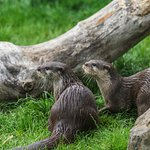 Otters at Exploris. Portaferry. Strangford.