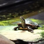 Inside one of the exhibits (red-eared slider turtle)