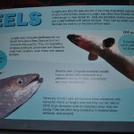 We were interested in eels after meeting some up close and personal in Christchurch at Willowban