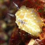 Nudibranch - Halgerda terramtuensis (a Hawaii endemic)