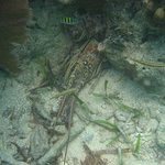 Snorkling around Ft Jefferson - Lobster shell