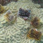 Snorkling around Ft Jefferson - Christmas tree worms on brain coral