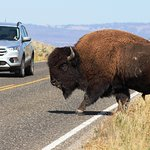 I have the right away. . . Bison in Yellowstone National Park