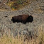 Bison and Pronghorn -- Lamar Valley, YNP