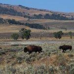 Bison in Lamar Valley, YNP