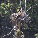 Osprey Nest in Lamar Valley, Yellowstone National Park