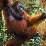 Orangutan, my personal favourite
