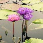 Photo de The International Water Lily Garden @ Civic League Park