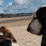 Canine visitors to Oxwich Bay