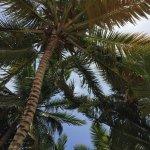 Hay palmeras en toda la orilla de la playa que protegen del sol