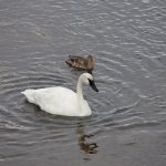 Swan and duck.