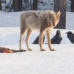 Wolf photo captured on tour by BrushBuck guest, Paul Gryniewicz!