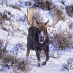 Bull moose in the Tetons by Sue Ernisse!