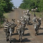 Zebra marching on the road