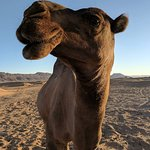Camel knows how to pose