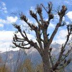 kalpa's whomping willow