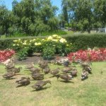 Ducks at the gardens...