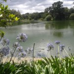 Agapanthus overlooking the lake,,,
