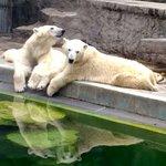 The zoo's two Polar Bears.