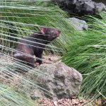 The tasmanian devil paced from one end of his enclosure to the other