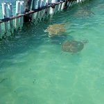 outdoor lagoon with large turtles, stingrays and nurse sharks