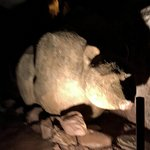 Représentation de l'ours des cavernes