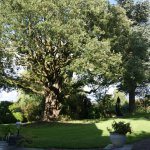 Holm oak in the afternoon sun