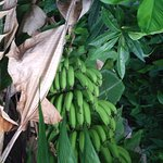 Bananas growing in the grounds