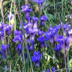 Clumps of fringed gentian at this park (9/2017)
