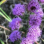 Close-up of the rough blazing star flowers