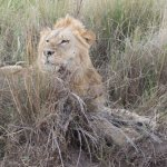 Lion on the side of the road during safari. Amazing.