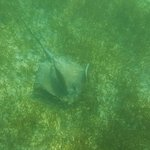 Not sure if this is a stingray or eagle ray.