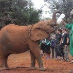 feeding with milk bottle the baby elephants