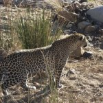 The Leopard , the first of the Big 5