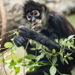 Spider Monkey: Treetop Village - photo by Amiee Stubbs